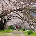 Photos: 桜 8