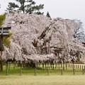Photos: 桜 9