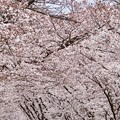 Photos: 桜 10