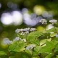 Photos: 小紫陽花