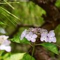 紫陽花 3