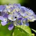 紫陽花 4