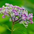 Photos: 紫陽花 8