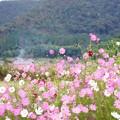Photos: 秋桜 2