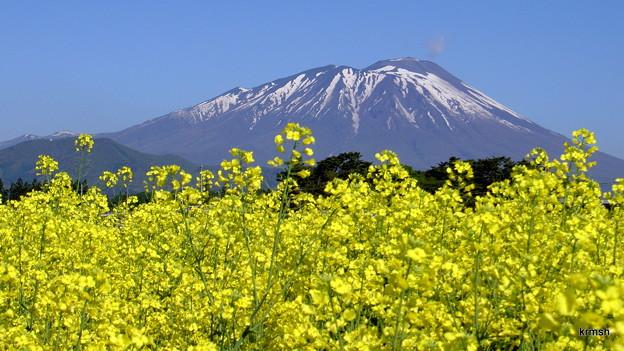 満開の菜の花と岩手山