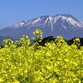 Photos: 満開の菜の花と岩手山