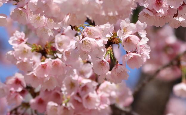 中京競馬場の寒桜
