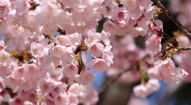 中京競馬場の寒桜2