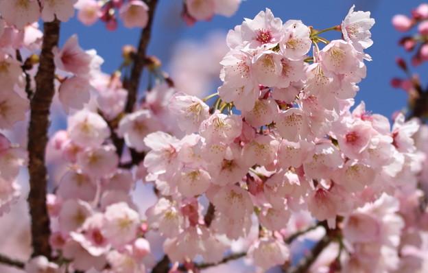 桜 中京競馬場