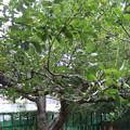 写真: ニュートンのりんご(ケントの花)