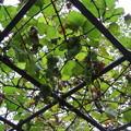 写真: メンデルのブドウ