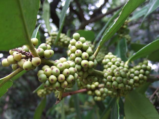タラヨウ雌木