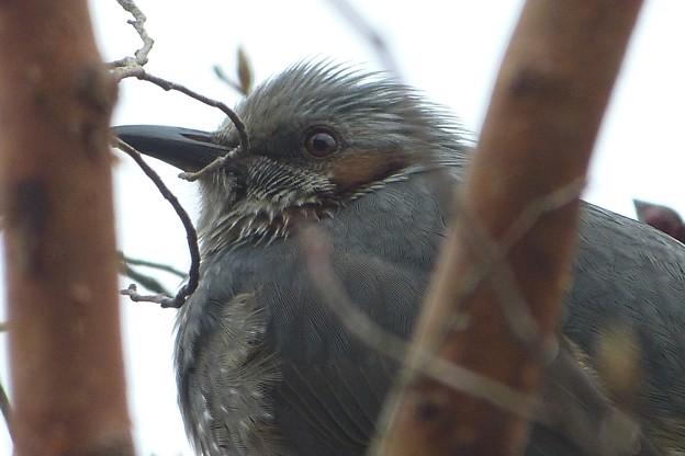 我家に飛来する野鳥 No01