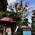2020/03/01・・・神社の河津桜No04