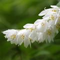 ウツギ(空木) ウノハナ(卯の花) 17052017