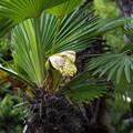 写真: トウジュロ(唐棕櫚)の花 15042018
