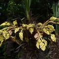 写真: シュロ(棕櫚)の花 18042018