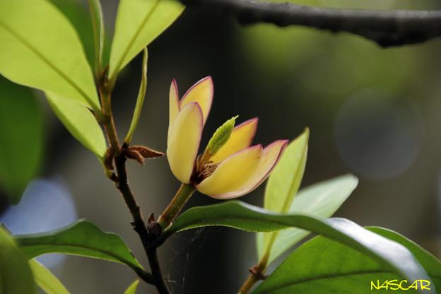 カラタネオガタマ(唐種招霊) 06052018