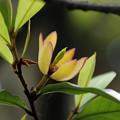 写真: カラタネオガタマ(唐種招霊) 06052018