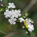 写真: ハクチョウゲ(白丁花) 06052018