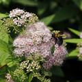 写真: シモツケ(下野)にクマバチ(熊蜂) 18052018