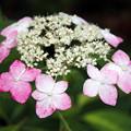アジサイ「花まつり」 01062018