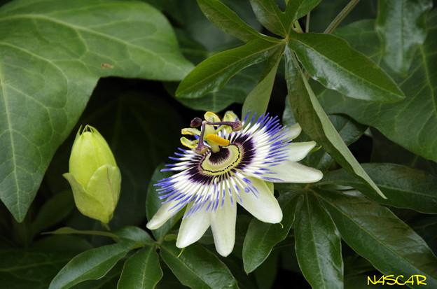 トケイソウ(時計草、パッションフラワー、Passion flower) 09062018