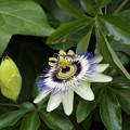 写真: トケイソウ(時計草、パッションフラワー、Passion flower) 09062018