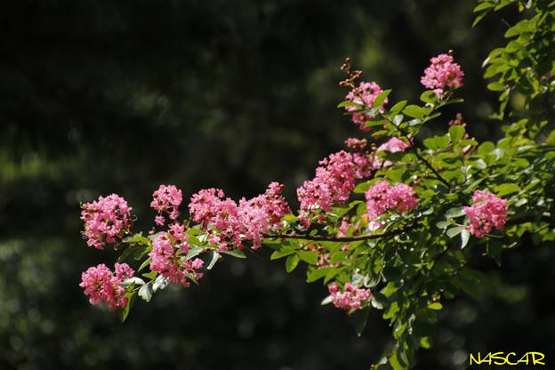 サルスベリ(百日紅)10082018