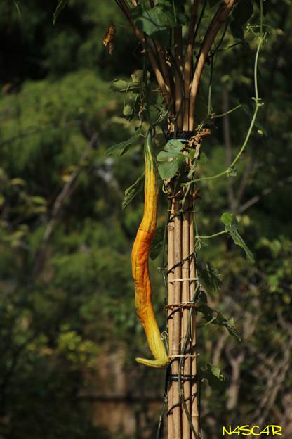 ヘビウリ(蛇瓜) 18082018