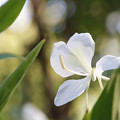 ハナシュクシャ(花縮紗) 07102018