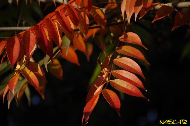 ハゼノキ(櫨の木、黄櫨の木) 紅葉 11112018