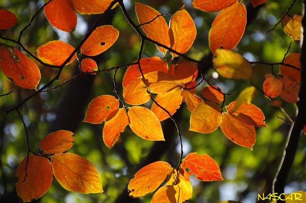 カキノキ(柿の木) 紅葉 21112018