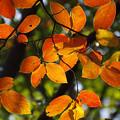 写真: カキノキ(柿の木) 紅葉 21112018