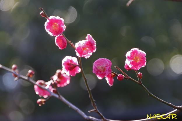 トウバイ(唐梅) 22012019