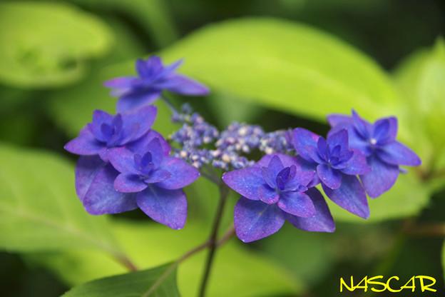 Photos: ミヤマヤエムラサキ(深山八重紫)