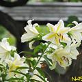 ヤマユリ(山百合) 13072019