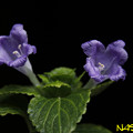 スズムシバナ(鈴虫花) 14092019