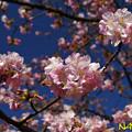 Photos: カワヅザクラ(河津桜) 13022020