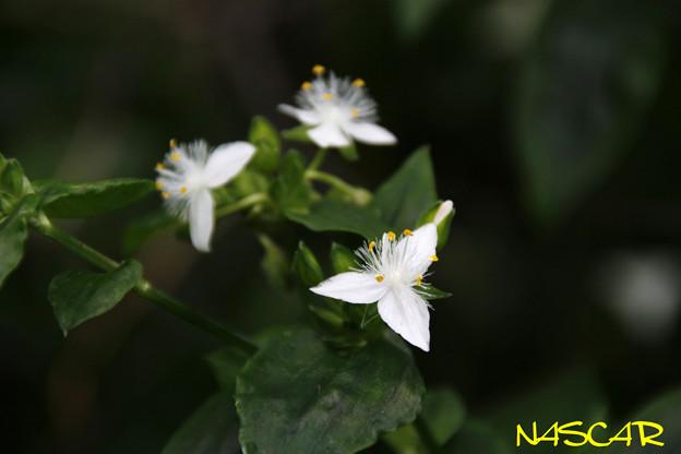 Photos: トキワツユクサ(常磐露草) 25052020