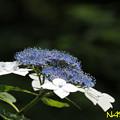 エゾアジサイ(蝦夷紫陽花) 09062020
