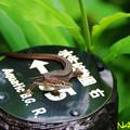 ニホンカナヘビ 23062020
