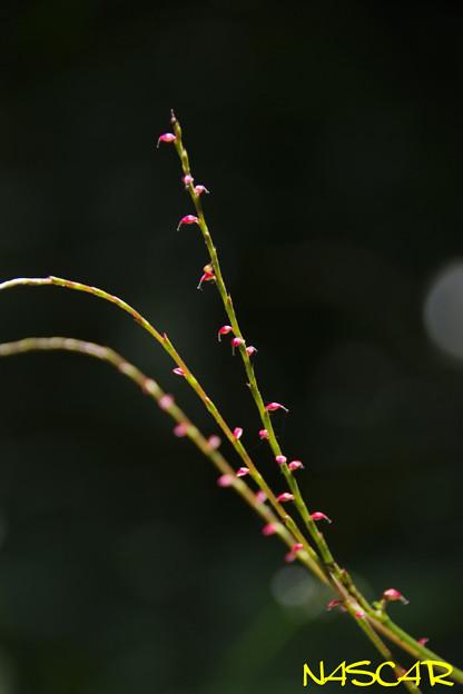 ミズヒキ(水引、金線草) 02072020