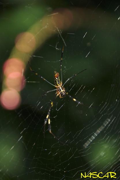 Photos: ジョロウグモ(女郎蜘蛛、上臈蜘蛛) 30092020
