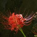 ヒガンバナ(彼岸花、石蒜) 30092020
