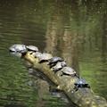 Photos: 亀かめカメ… 02102020