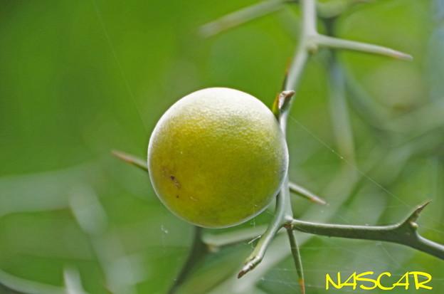 カラタチ(枳殻、枸橘)の実 02102020