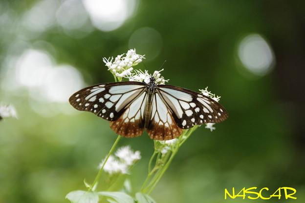 アサギマダラ(浅葱斑) 07102020