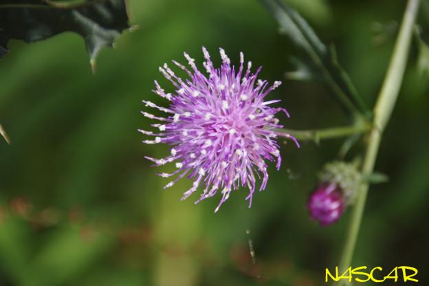 トネアザミ(利根薊) 16102020