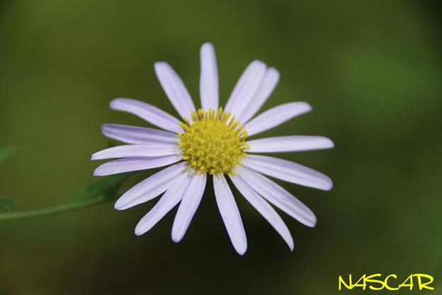 ユウガギク(柚香菊) 22102020